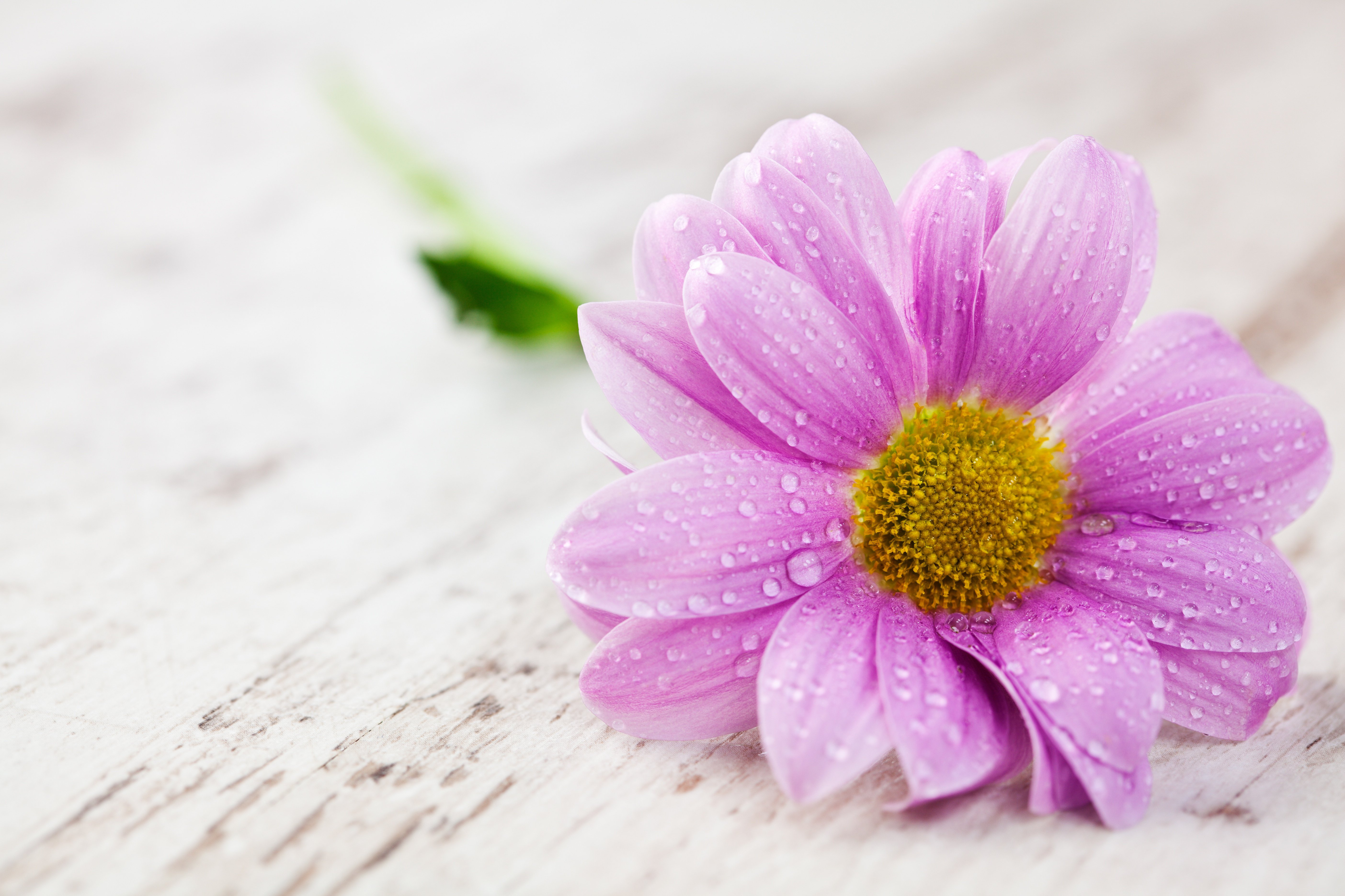 Flowers droplets wallpapers